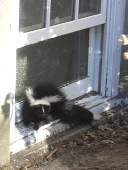 Skunk on the window sill