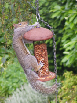 Squirrel raids the birdfeeder